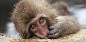 Kelionė Unikali pažintis su Japonija ir snieginėmis beždžionėmis
