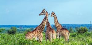 Kelionė Afrikos kaleidoskopas. Pietų Afrikos Respublika - Zimbabvė - Botsvana 14d.