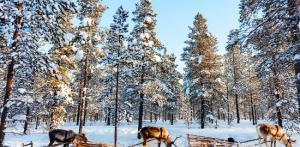 Kelionė Snieguotoji Laplandija