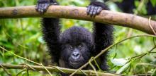 Kelionė Uganda: pažintis su Uganda ir gorilomis