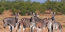 Kelionė Kriugerio nacionalinis parkas ir Mozambiko paplūdimiai