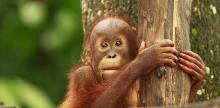 Kelionė Modernioji Malaizija, Borneo salos orangutanai ir nepažintasis Brunėjus (su lietuviškai kalbančiu vadovu)