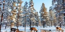Kelionė Snieguotoji Laplandija (6d/5n)