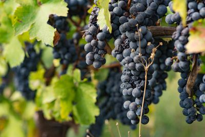 Vyno festivalis Austrijoje