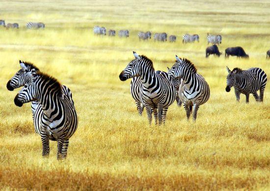Tanzanijos nacionaliniai parkai ir poilsis Zanzibare (su vadovu iš Lietuvos)